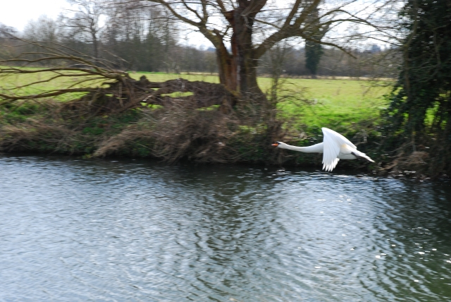 Swan over the Stour