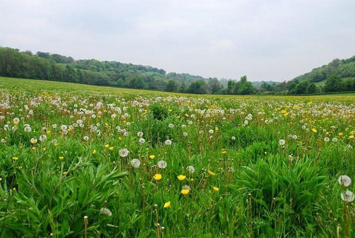 A North Downs walk through dandelionlands
