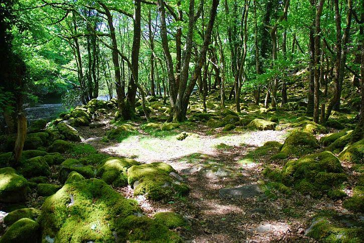 Wildwood near Llanbedr
