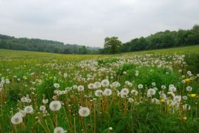 Dandelion clocks near Downe House, Kent