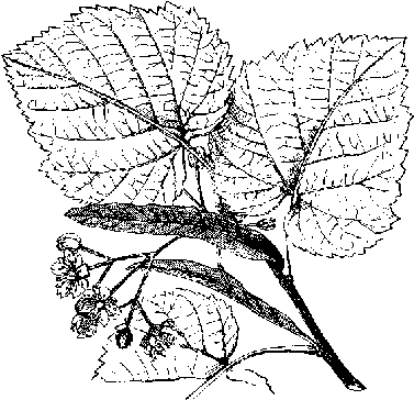 Leaf and flower of the lime tree