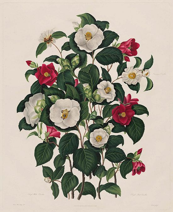 Clara Maria Pope Samuel Curtis' A Monograph on the Genus Camellia 1819