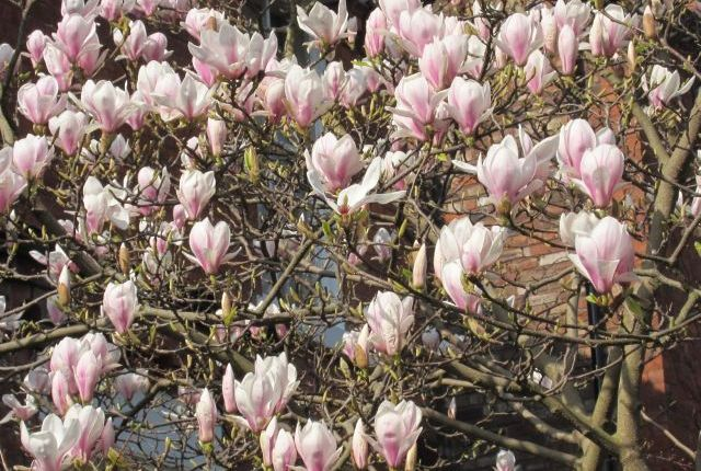 Magnolia: 'the whiteness is a gift'