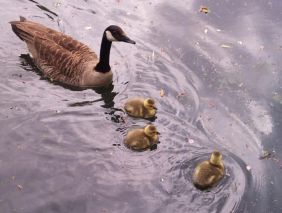 Goslings 5 June