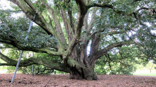 Turners Oak