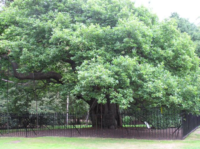 Ideas for a narrative essay on an Oak tree?