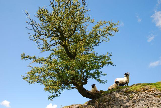 Hawthorn and sheep