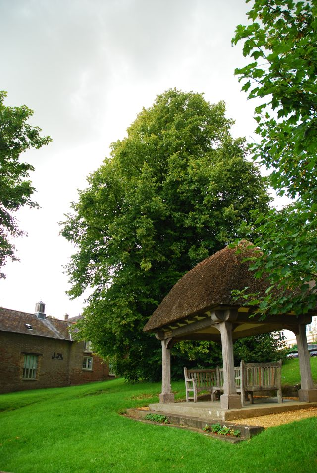 Tolpuddle sycamore