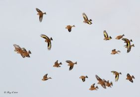 Finches in flight