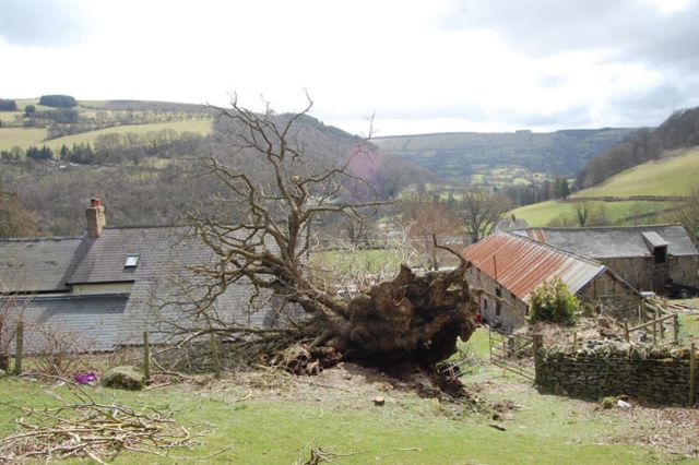 Pontfadog Oak has been knocked down by the wind,  Wales