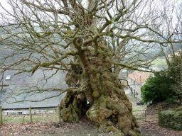 The fallen oak of Pontfadog