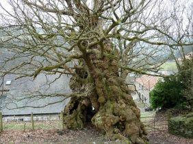 Pontfadog oaks