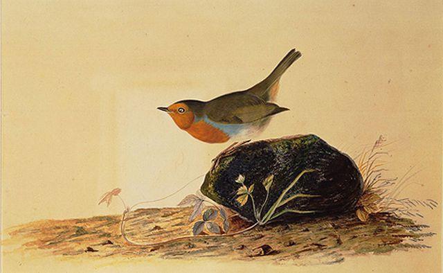 Robin Perched on a Mossy Stone, JJ Audubon (1826)