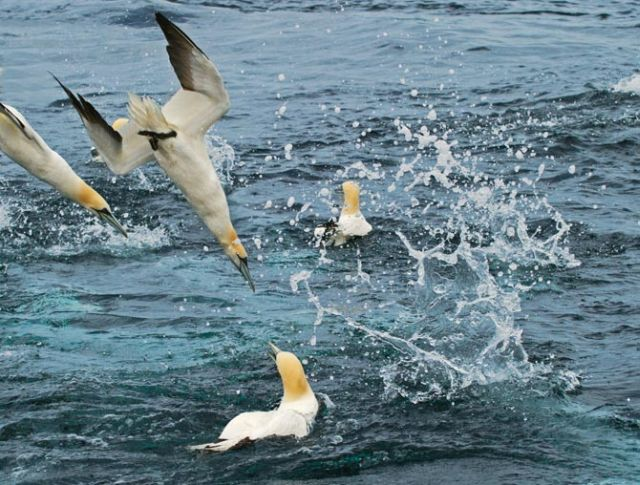 Gannets diving (National Geographic magazine)