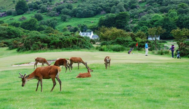 Golfers and deer on the links at Lochanzra.