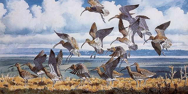 CharlesTunnicliffe, Curlews Alighting
