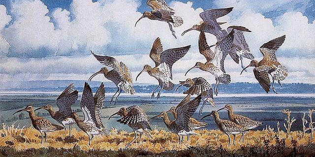 CharlesTunnicliffe, Curlews Alighting