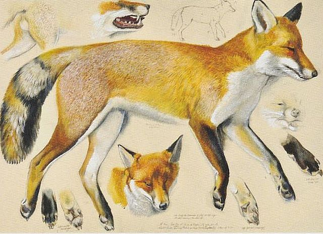 Tunnicliffe, measured drawing of a fox, 1964