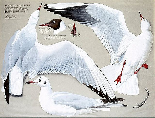Tunnicliffe, Measured drawing of Black-headed Gull