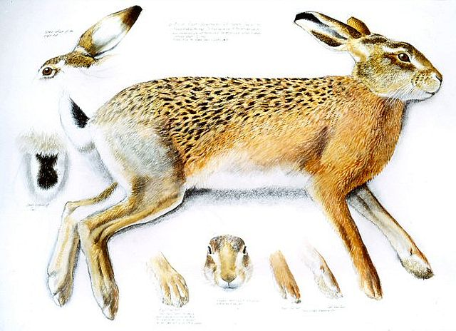 Tunnicliffe, Measured drawing of a female Brown Hare, 1973