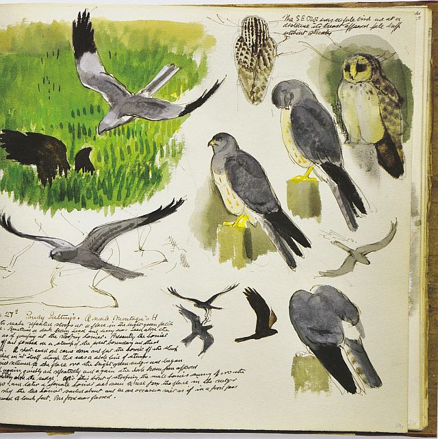 Tunnicliffe, Short-Eared Owl and Montagu's Harrier, Cefni saltmarsh, sketchbook, 1956