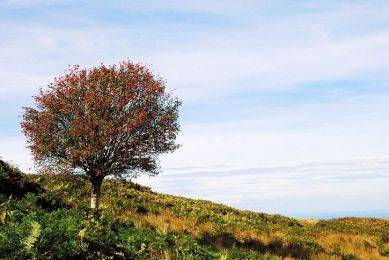 Image result for scotland rowan tree