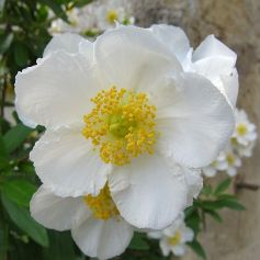 Oxford Botanical 6