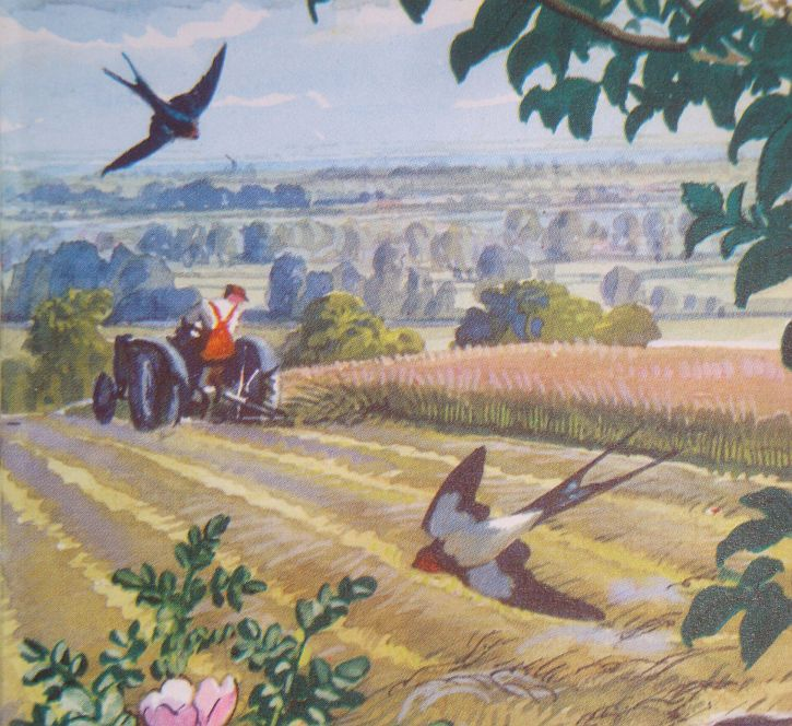 Swallows, illustration by C F Tunnicliffe