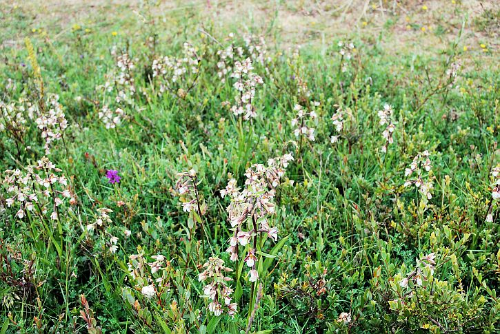 Marsh Helleborine 2
