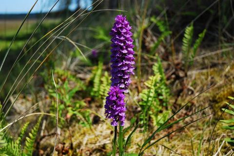 Northern March Orchid