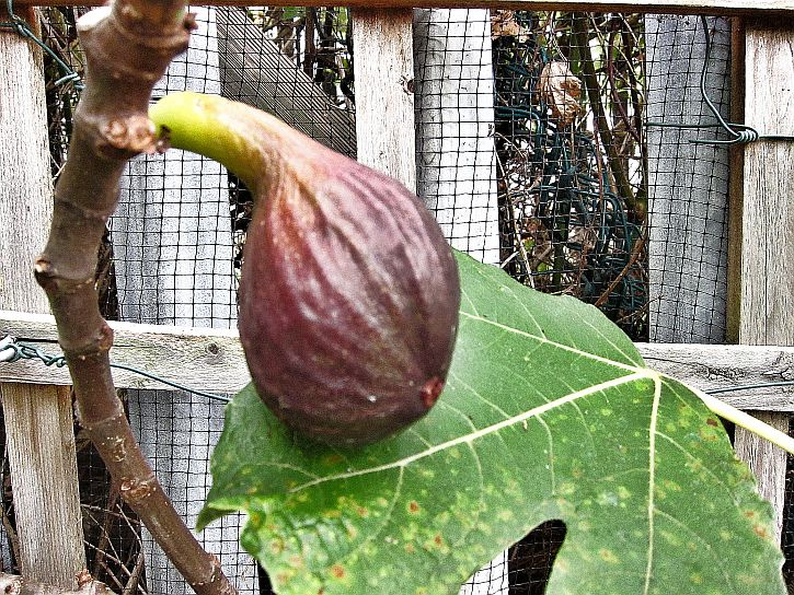 First fig 1