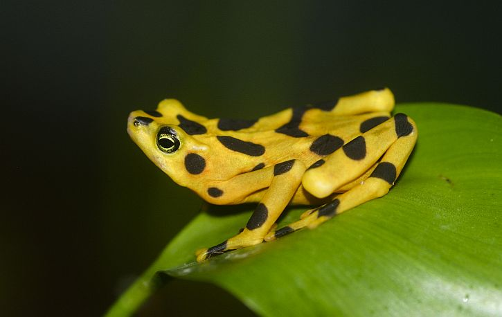 Atelopus zeteki, Panamanian Golden Frog