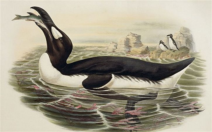 The extinct great auk