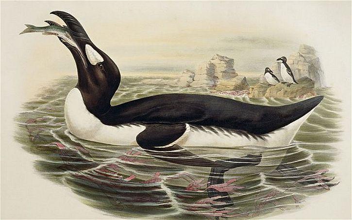 The extinct great auk