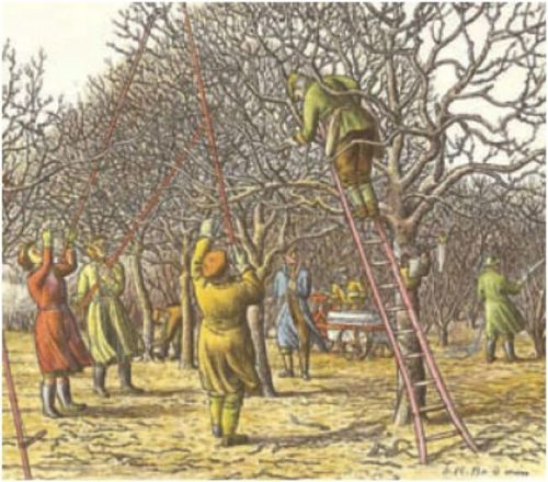 Harvesting cherries in the traditional manner