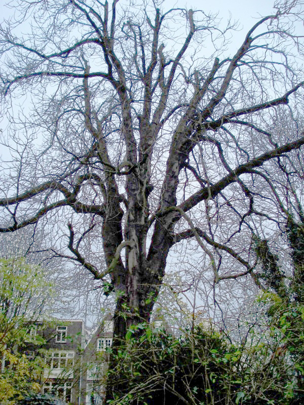 The Anne Frank Tree in 2006