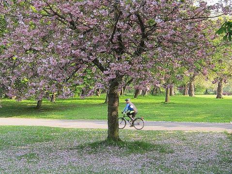 Cherry blossom 6