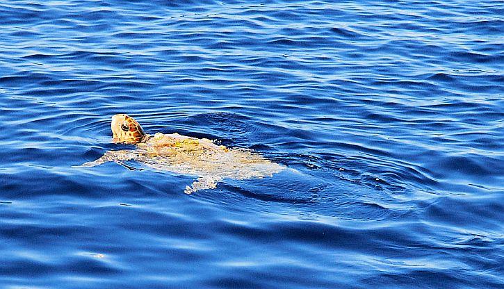 Ithaca turtle