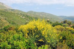 Spanish broom on the hillside