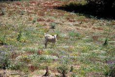 Goat and wildflowers