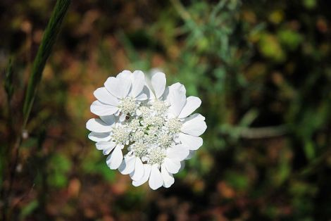 Unknown lace-like white flower
