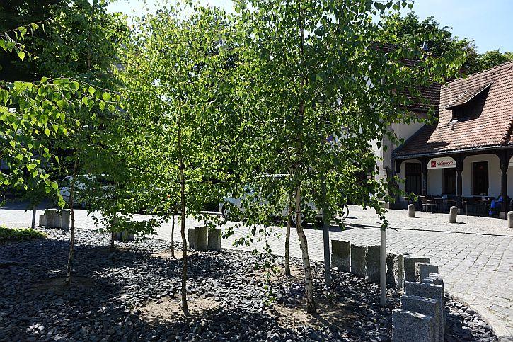 Birch trees from Auschwitz