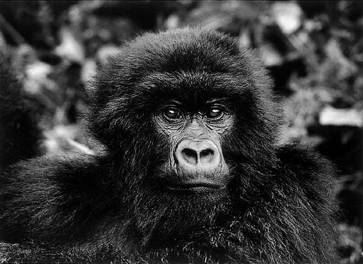 Genesis: Mountain Gorilla in Virunga national park, Rwanda
