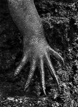 Genesis: Marine iguana, Galápagos, Ecuador, 2004