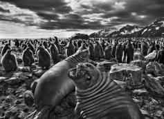 Genesis: elephant seal calves and a colony of king penguins, South Georgia