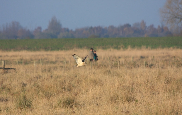A Short-eared Owl on Burwell Fen (photo by Hugh Venables)