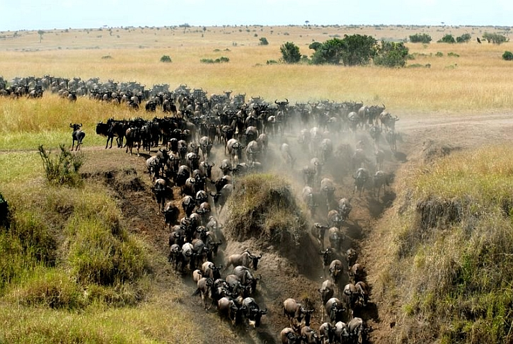 Migrating wildebeest on the Masai Mara, Kenya