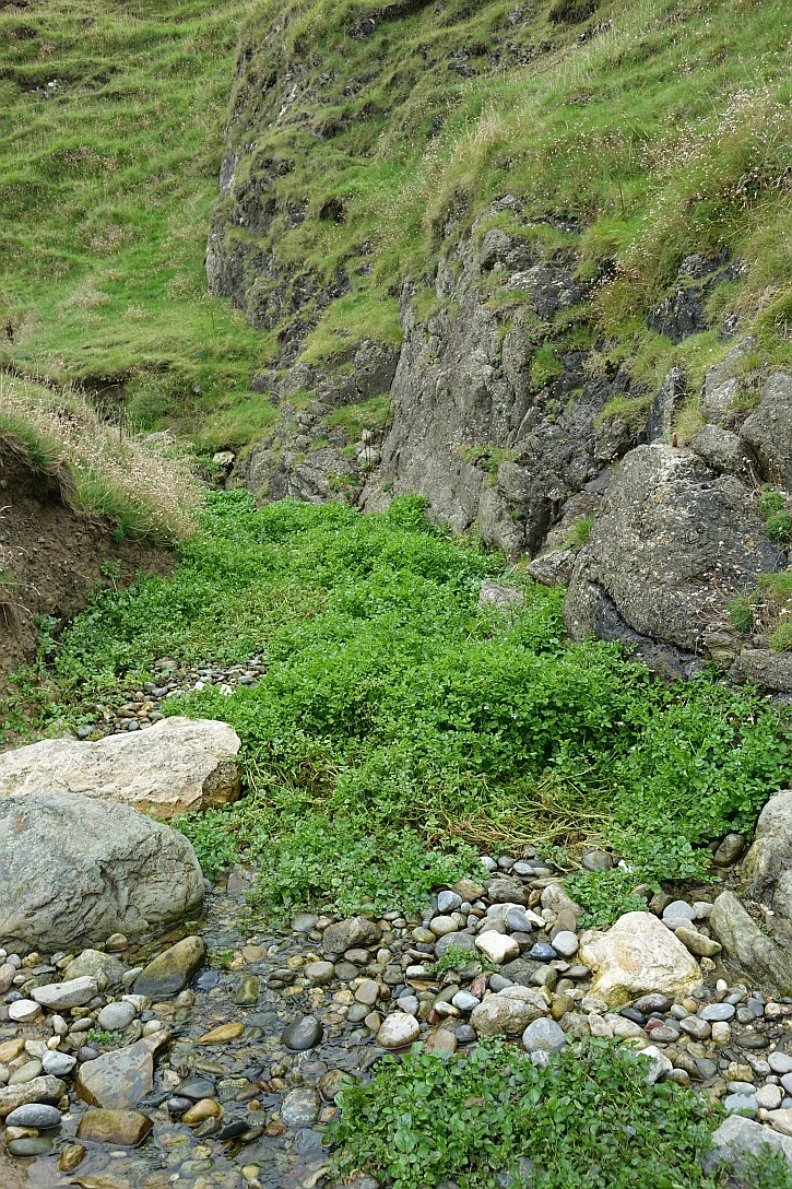 Porth Llanllawen: beds of watercress