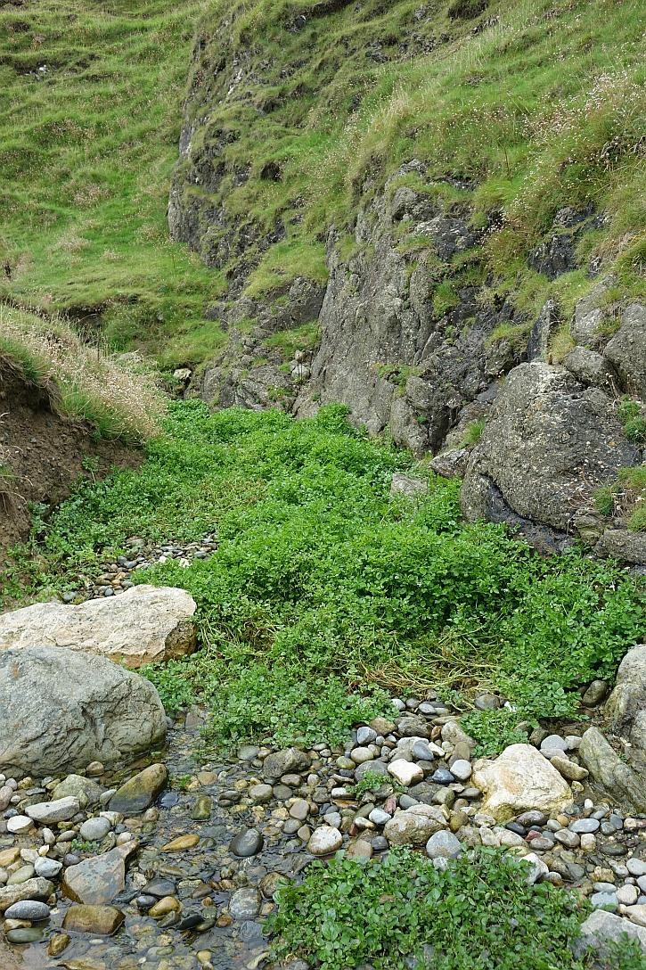 Porth Llanllawen: beds of watercress