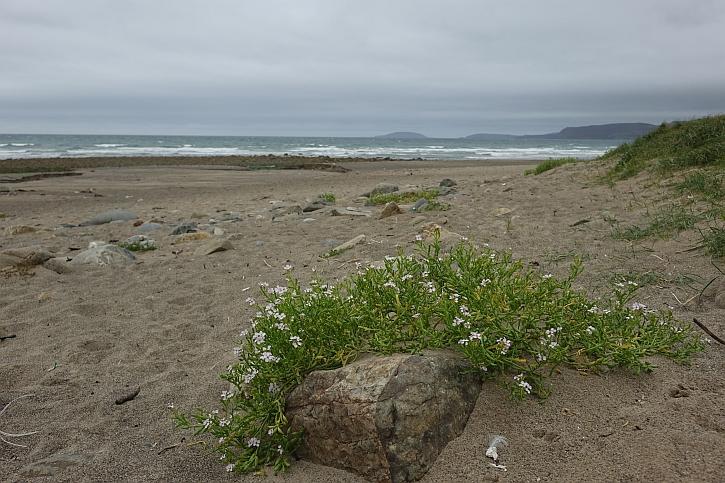 Sea rocket on the beach